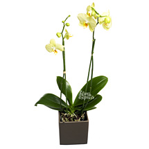 Орхидея «Интуиция»