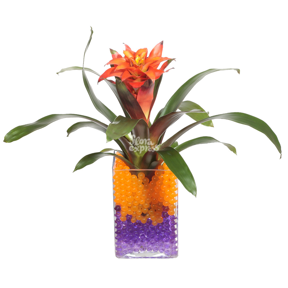 Гузмания от Floraexpress