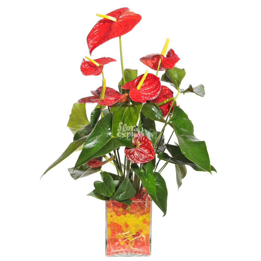Антуриум от Floraexpress