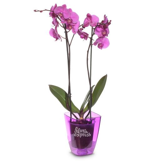 Орхидея «Нежность»