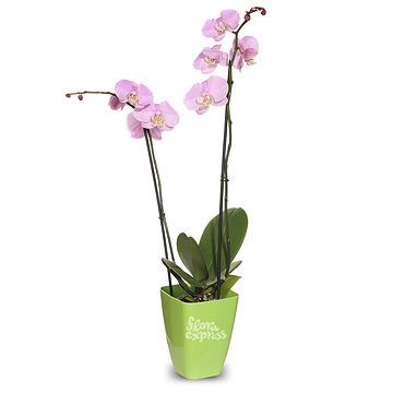 Букет Орхидея «Фаленопсис»